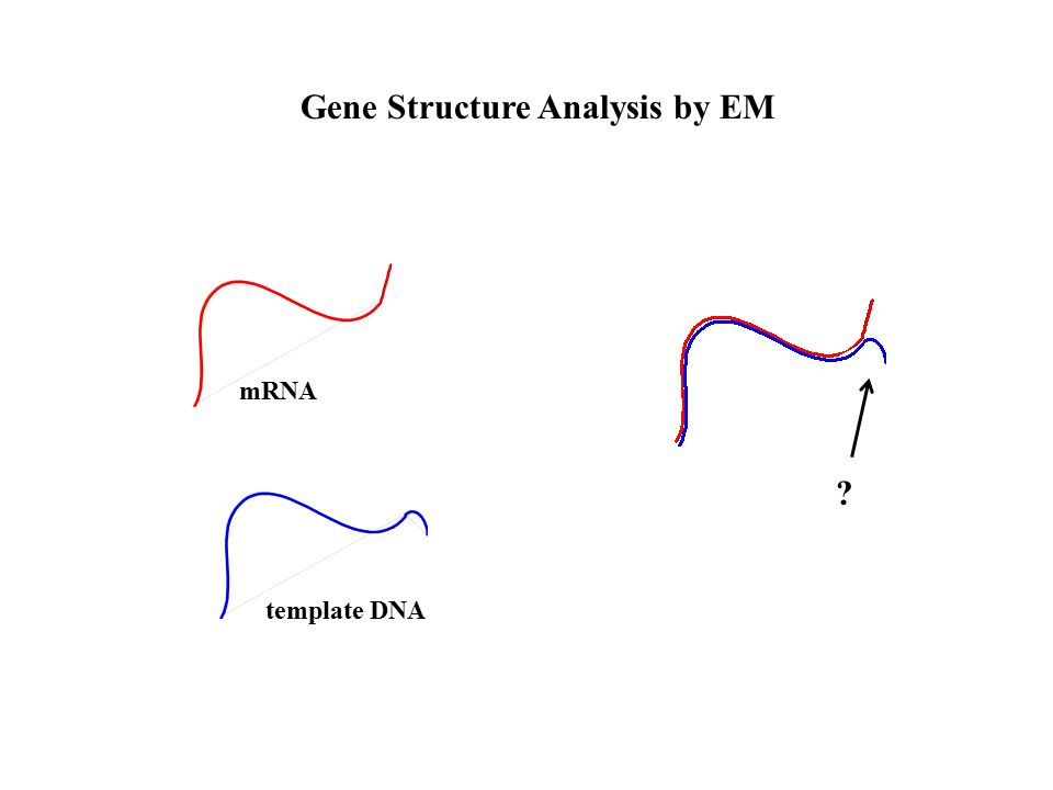 mRNA template DNA Gene Structure Analysis by EM
