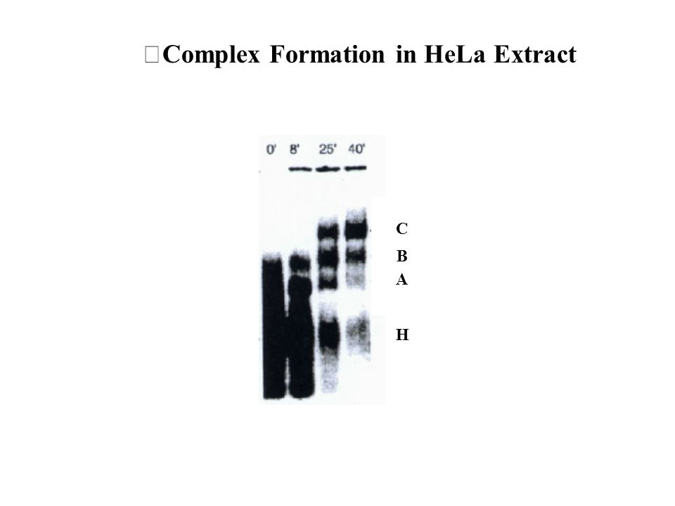 Complex Formation in HeLa Extract H A B C