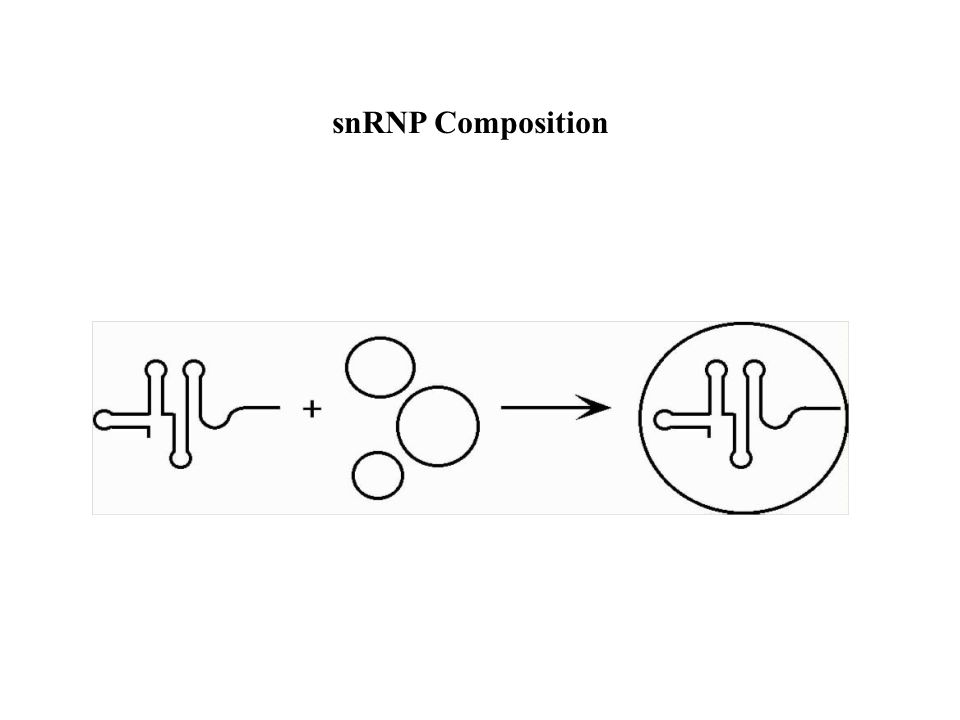 snRNP Composition