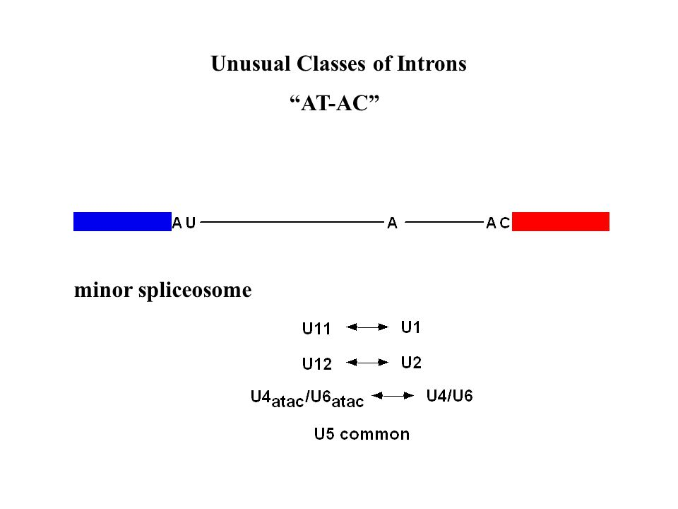 Unusual Classes of Introns AT-AC minor spliceosome