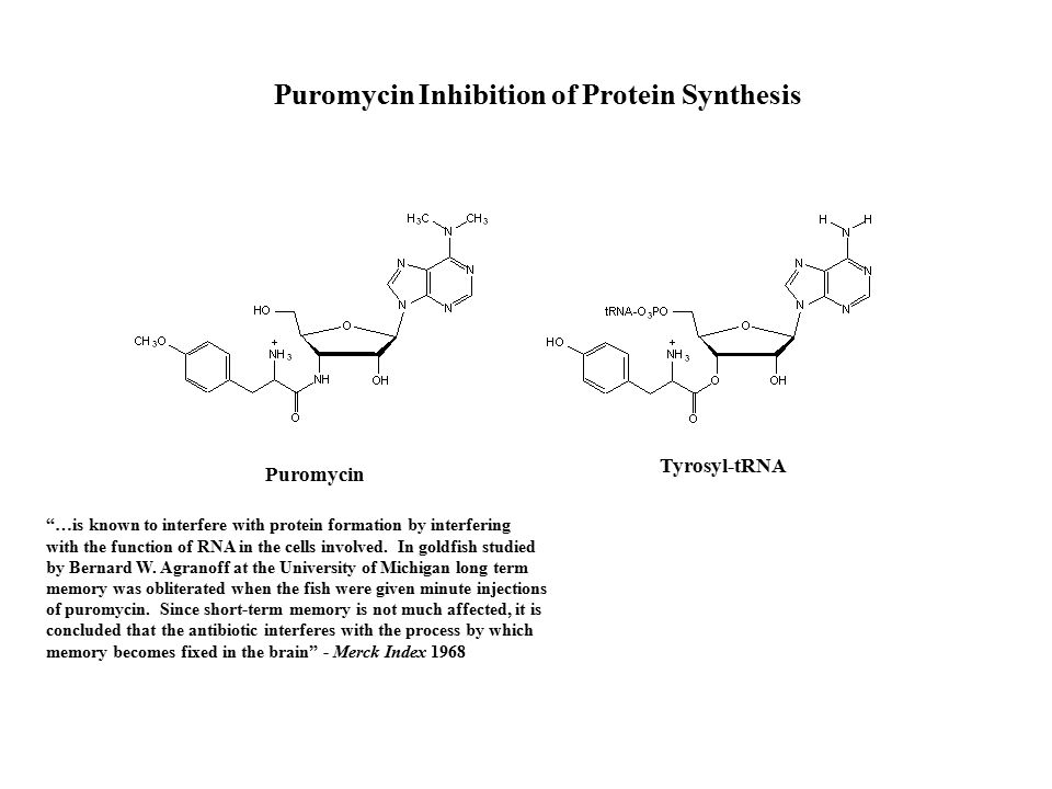 Puromycin …is known to interfere with protein formation by interfering with the function of RNA in the cells involved.