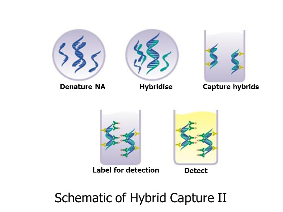Schematic of Hybrid Capture II HybridiseCapture hybridsDenature NA Label for detection Detect