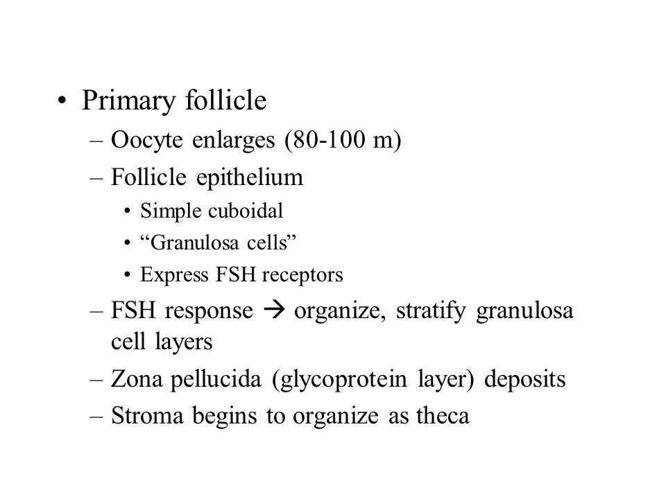 "Primary follicle –Oocyte enlarges (80-100 m) –Follicle epithelium Simple cuboidal ""Granulosa cells"" Express FSH receptors –FSH response  organize, st"