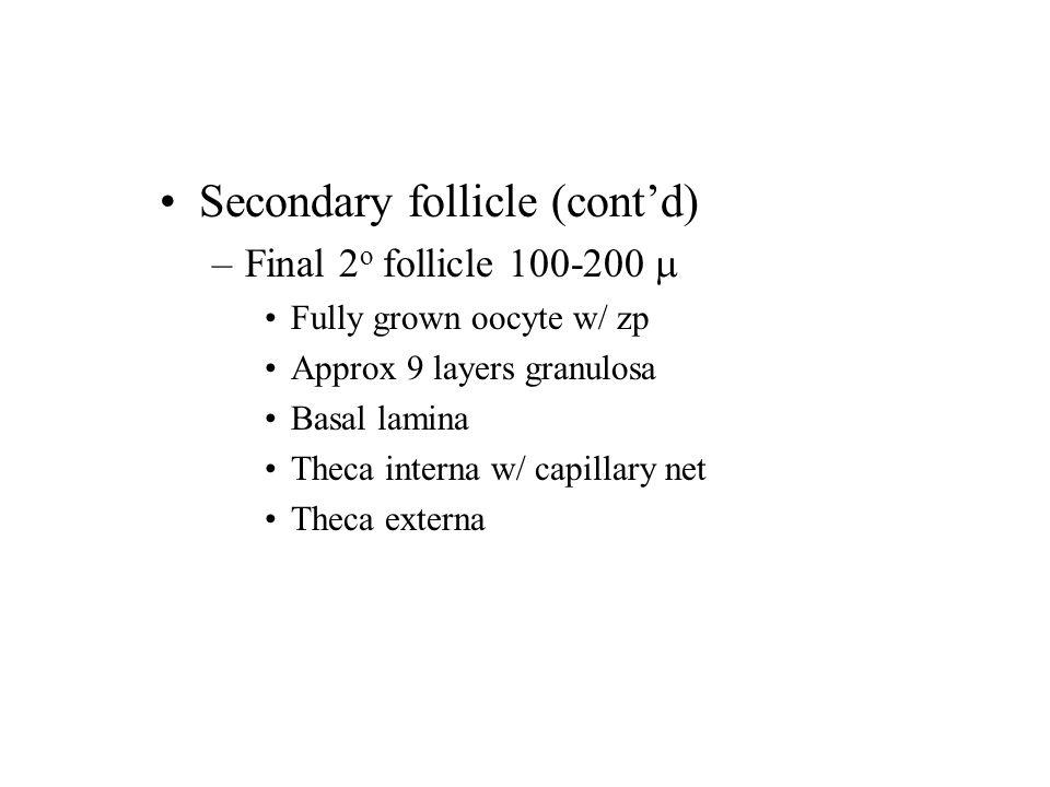 Secondary follicle (cont'd) –Final 2 o follicle 100-200  Fully grown oocyte w/ zp Approx 9 layers granulosa Basal lamina Theca interna w/ capillary net Theca externa
