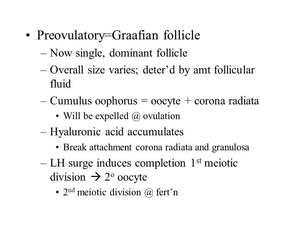 Preovulatory=Graafian follicle –Now single, dominant follicle –Overall size varies; deter'd by amt follicular fluid –Cumulus oophorus = oocyte + coron