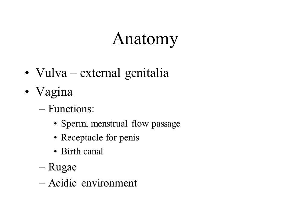 Anatomy Vulva – external genitalia Vagina –Functions: Sperm, menstrual flow passage Receptacle for penis Birth canal –Rugae –Acidic environment