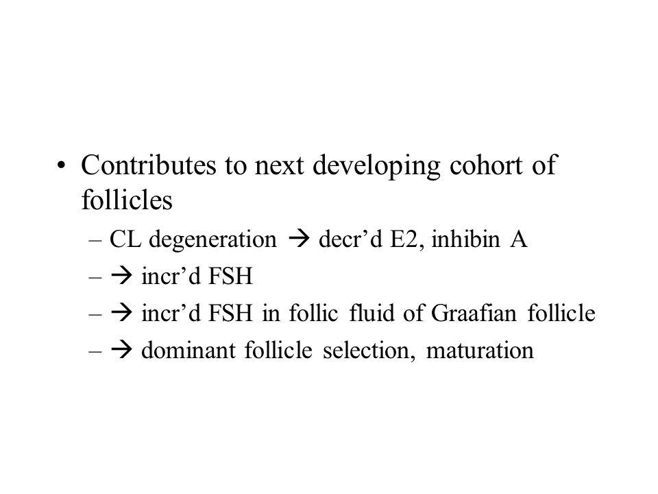 Contributes to next developing cohort of follicles –CL degeneration  decr'd E2, inhibin A –  incr'd FSH –  incr'd FSH in follic fluid of Graafian follicle –  dominant follicle selection, maturation