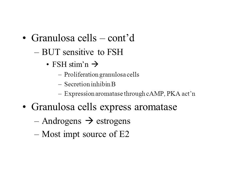 Granulosa cells – cont'd –BUT sensitive to FSH FSH stim'n  –Proliferation granulosa cells –Secretion inhibin B –Expression aromatase through cAMP, PKA act'n Granulosa cells express aromatase –Androgens  estrogens –Most impt source of E2