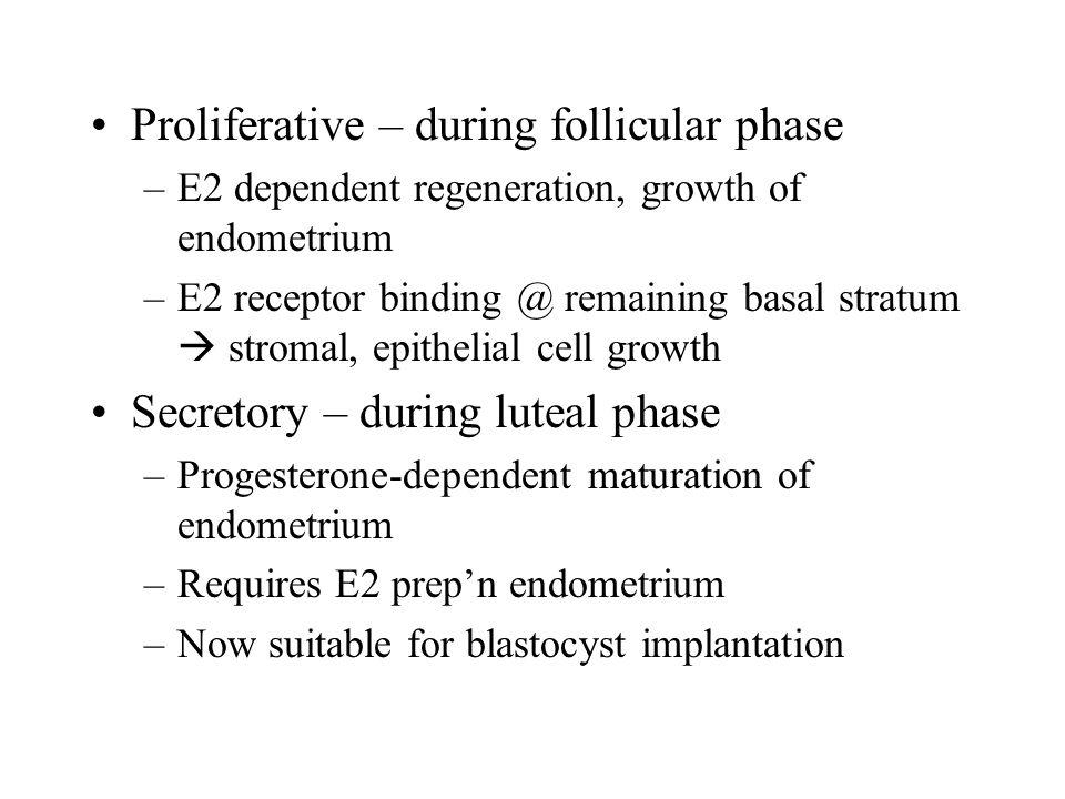 Proliferative – during follicular phase –E2 dependent regeneration, growth of endometrium –E2 receptor binding @ remaining basal stratum  stromal, ep