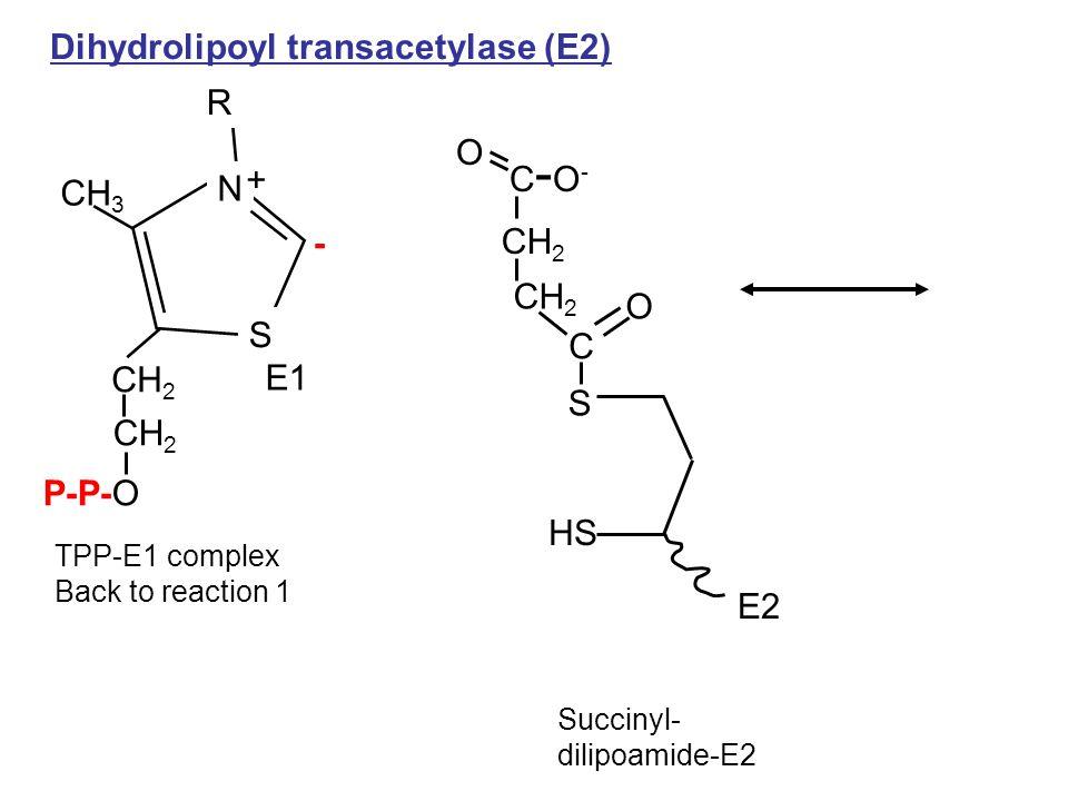 TPP-E1 complex Back to reaction 1 CH 3 P-P-O R CH 2 C S N + Dihydrolipoyl transacetylase (E2) E1 - HS S E2 Succinyl- dilipoamide-E2 O CH 2 C-O-C-O- O