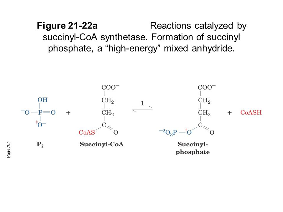 Figure 21-22aReactions catalyzed by succinyl-CoA synthetase.
