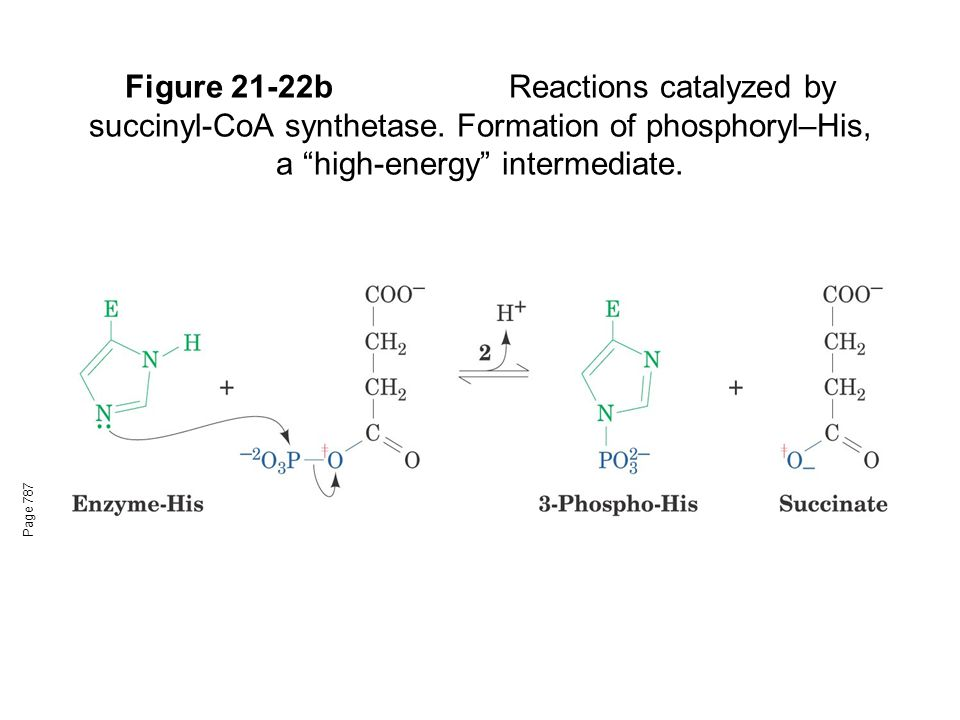 Figure 21-22bReactions catalyzed by succinyl-CoA synthetase.