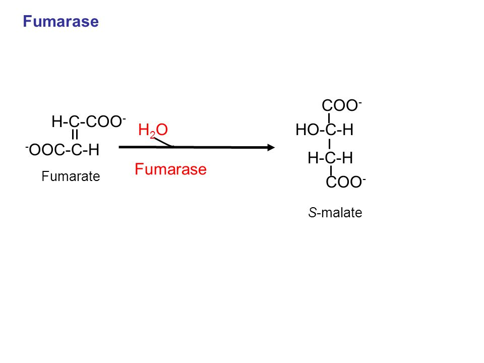 Fumarase COO - HO-C-H S-malate H-C-H COO - H-C-COO - Fumarate - OOC-C-H H2OH2O