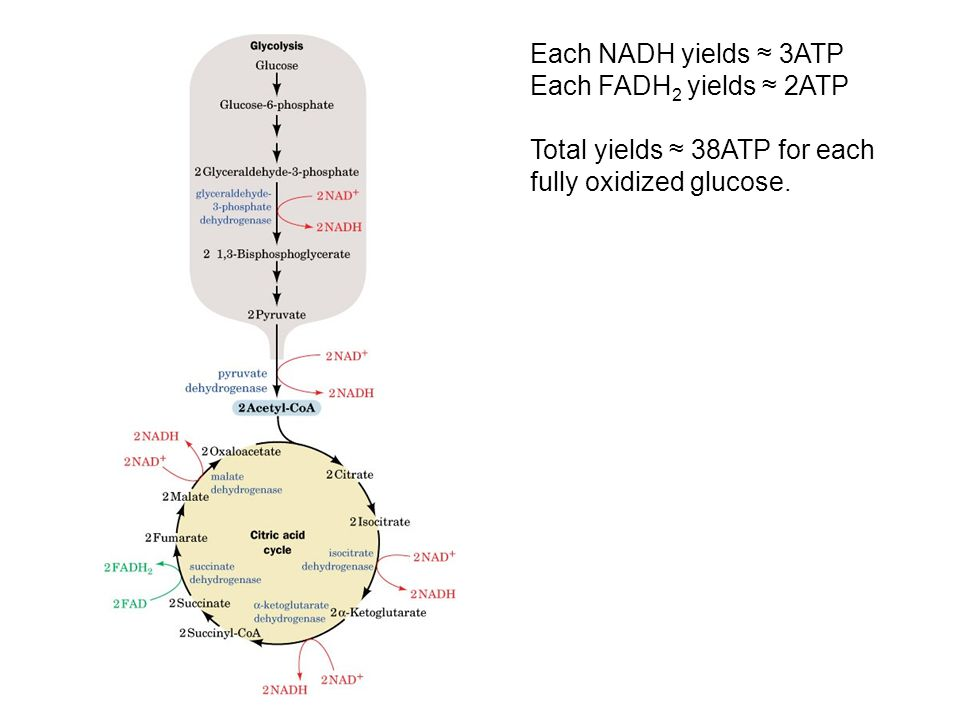 Each NADH yields ≈ 3ATP Each FADH 2 yields ≈ 2ATP Total yields ≈ 38ATP for each fully oxidized glucose.