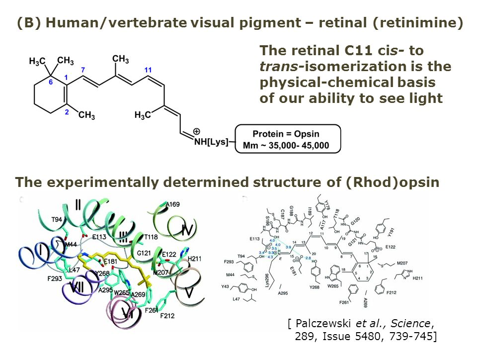 (B) Human/vertebrate visual pigment – retinal (retinimine) The retinal C11 cis- to trans-isomerization is the physical-chemical basis of our ability t