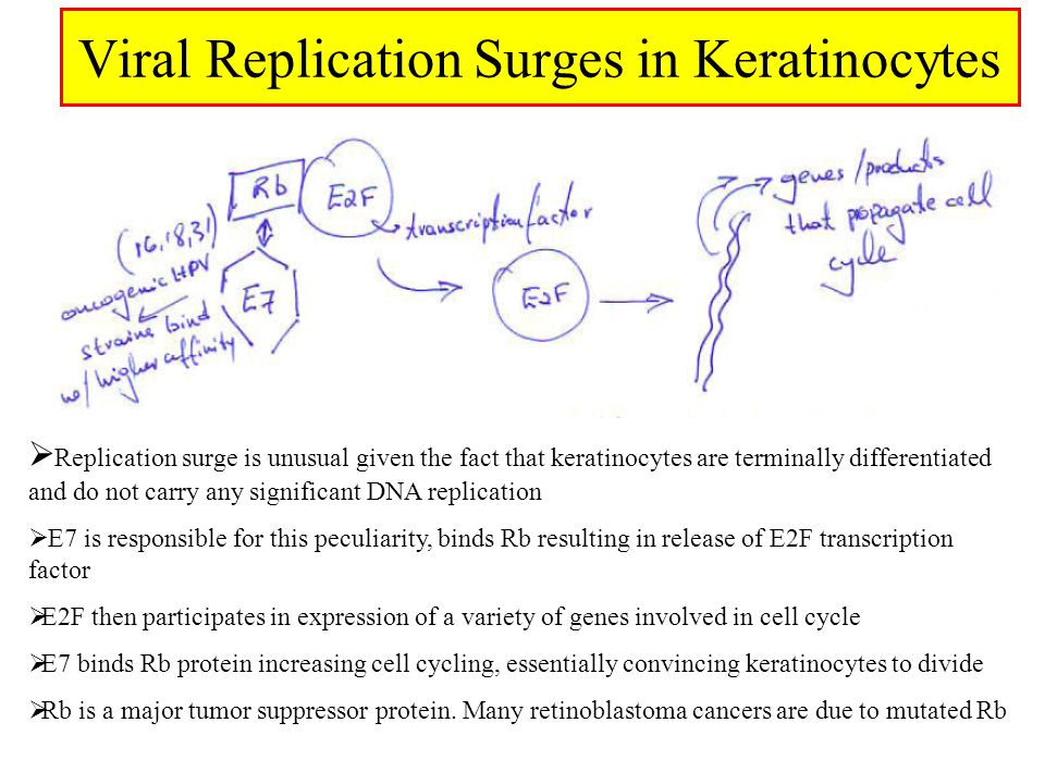 Viral Replication Surges in Keratinocytes  Replication surge is unusual given the fact that keratinocytes are terminally differentiated and do not carry any significant DNA replication  E7 is responsible for this peculiarity, binds Rb resulting in release of E2F transcription factor  E2F then participates in expression of a variety of genes involved in cell cycle  E7 binds Rb protein increasing cell cycling, essentially convincing keratinocytes to divide  Rb is a major tumor suppressor protein.