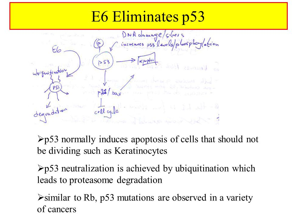  p53 normally induces apoptosis of cells that should not be dividing such as Keratinocytes  p53 neutralization is achieved by ubiquitination which leads to proteasome degradation  similar to Rb, p53 mutations are observed in a variety of cancers E6 Eliminates p53