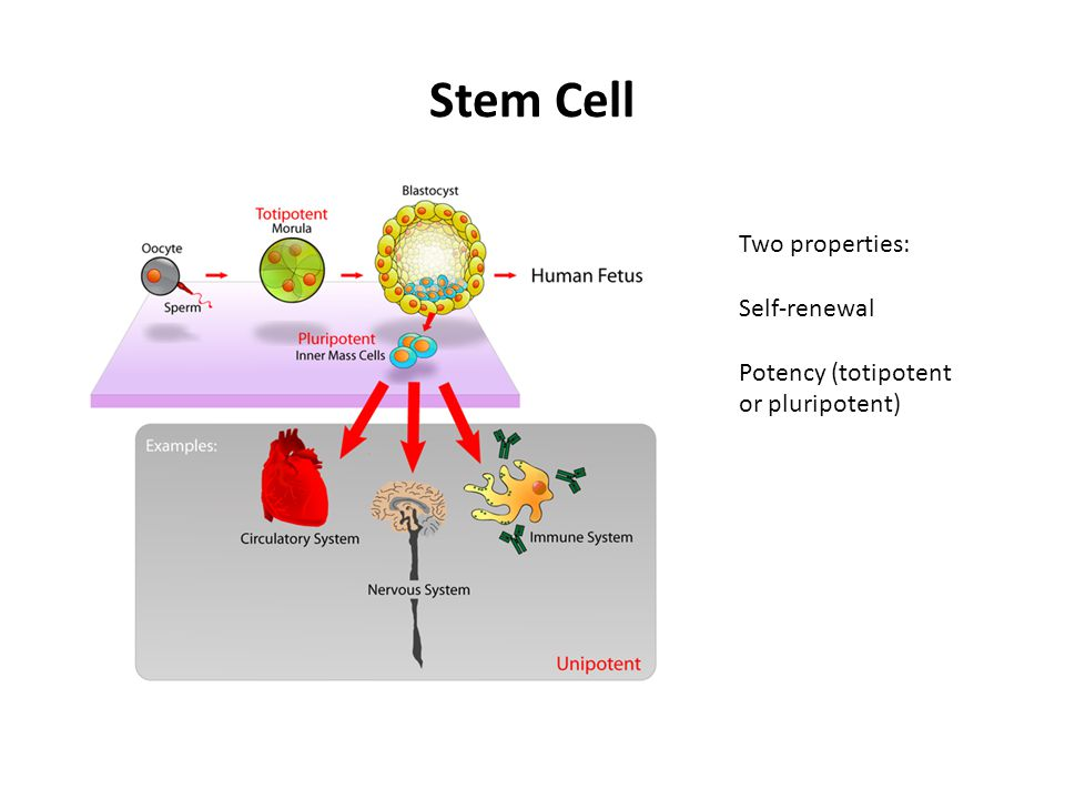 Stem Cell Two properties: Self-renewal Potency (totipotent or pluripotent)