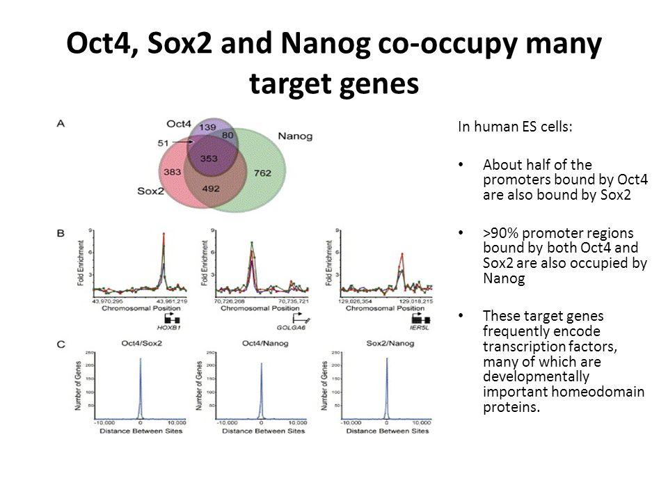 Oct4, Sox2 and Nanog co-occupy many target genes In human ES cells: About half of the promoters bound by Oct4 are also bound by Sox2 >90% promoter regions bound by both Oct4 and Sox2 are also occupied by Nanog These target genes frequently encode transcription factors, many of which are developmentally important homeodomain proteins.