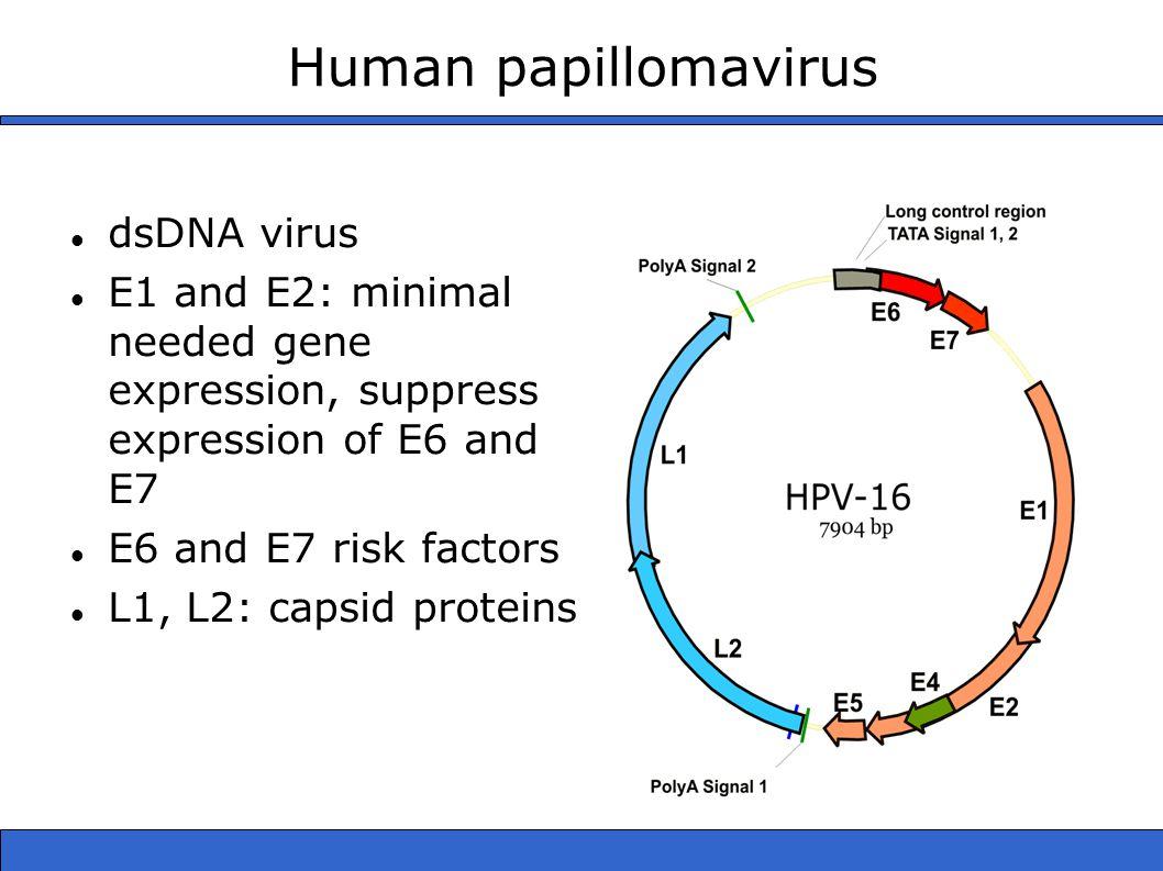 Human papillomavirus dsDNA virus E1 and E2: minimal needed gene expression, suppress expression of E6 and E7 E6 and E7 risk factors L1, L2: capsid pro