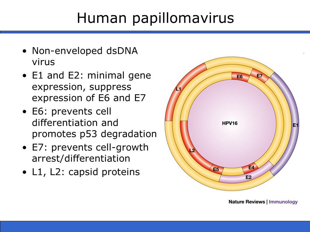 Human papillomavirus Non-enveloped dsDNA virus E1 and E2: minimal gene expression, suppress expression of E6 and E7 E6: prevents cell differentiation