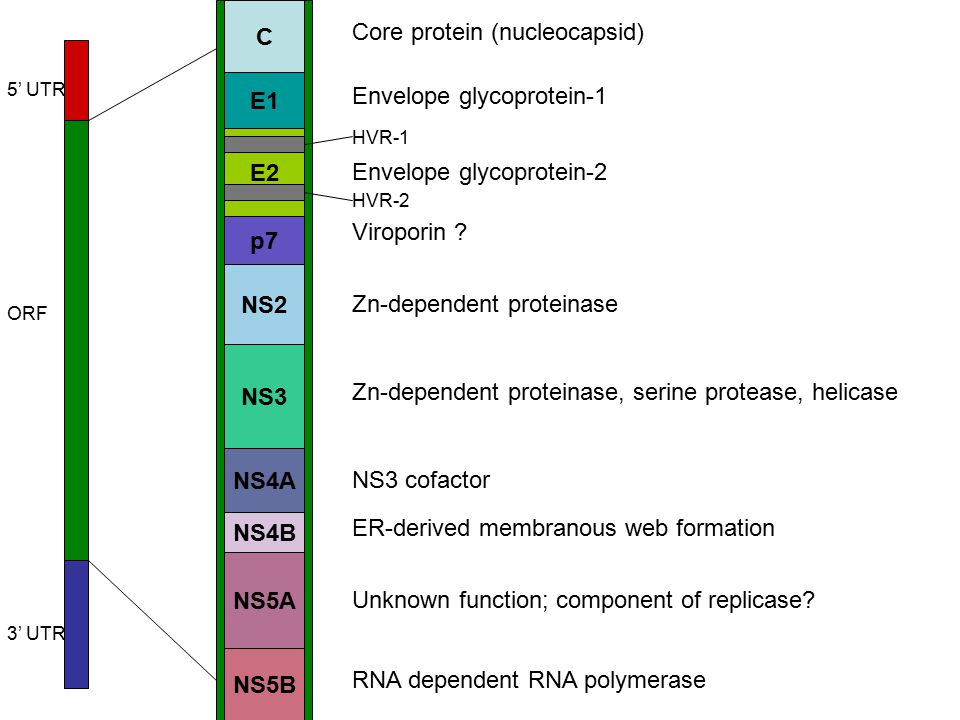 C E1 E2 p7 NS2 NS3 NS4A NS4B NS5A NS5B Core protein (nucleocapsid) Envelope glycoprotein-1 Envelope glycoprotein-2 Viroporin .