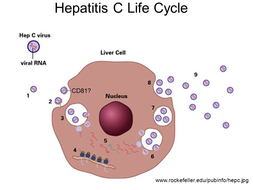 Hepatitis C Life Cycle www.rockefeller.edu/pubinfo/hepc.jpg CD81