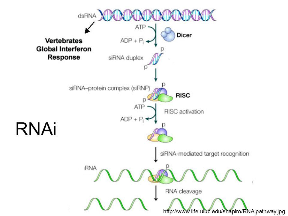 RNAi http://www.life.uiuc.edu/shapiro/RNAipathway.jpg