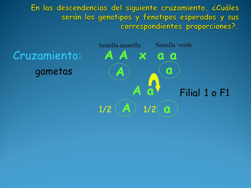 A a A a Cruzamiento: A A x a a Semilla amarilla Semilla verde A 1/2 a gametas Filial 1 o F1