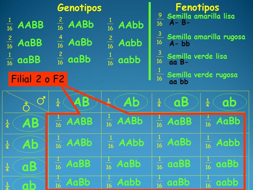 ♂ ♁ AB ¼ ¼ Ab ¼ ab ¼ aB ¼ Ab ¼ aB ¼ ab ¼ AABB 1 16 AABb 1 16 AaBb 1 16 AaBB 1 16 Aabb 1 16 AaBb 1 16 AAbb 1 16 AABb 1 16 AaBB 1 16 AaBb 1 16 aaBb 1 16 aaBB 1 16 AaBb 1 16 Aabb 1 16 aaBb 1 16 aabb 1 16 Filial 2 o F2 AABB 1 16 AABb 2 16 AAbb 1 16 Genotipos AaBB 2 16 AaBb 4 16 Aabb 2 16 aaBB 1 16 aaBb 2 16 aabb 1 16 Fenotipos Semilla amarilla lisa 9 16 Semilla amarilla rugosa Semilla verde lisa Semilla verde rugosa 3 16 3 16 1 16 A- B- A- bb aa B- aa bb