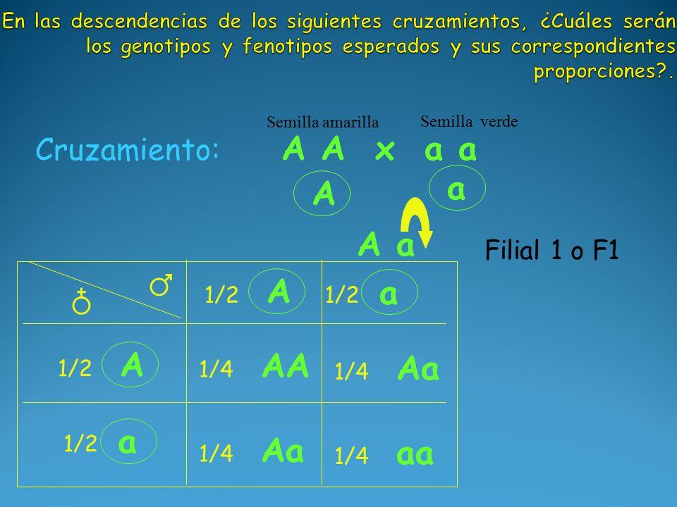 A a A a Cruzamiento: A A x a a Semilla amarilla Semilla verde A 1/2 a A a ♂ ♁ AA 1/4 Aa 1/4 Aa 1/4 aa 1/4 Filial 1 o F1