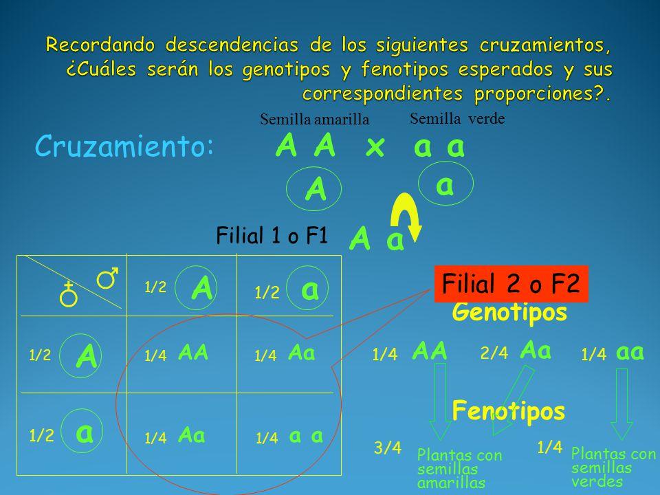 A a A a Cruzamiento: A A x a a Semilla amarilla Semilla verde A 1/2 a ♂ ♁ Genotipos AA 1/4 Aa 2/4 aa 1/4 Fenotipos Plantas con semillas amarillas 3/4 A 1/2 a AA 1/4 Aa 1/4 Aa 1/4 a 1/4 Plantas con semillas verdes 1/4 Filial 1 o F1 Filial 2 o F2