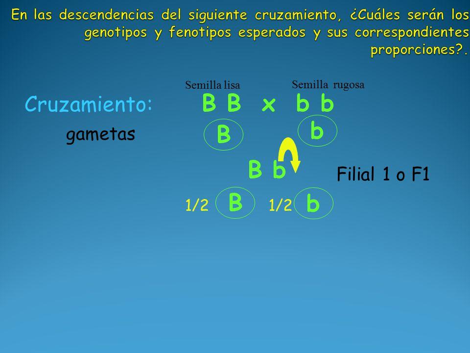 B b B b Cruzamiento: B B x b b Semilla lisa Semilla rugosa B 1/2 b gametas Filial 1 o F1