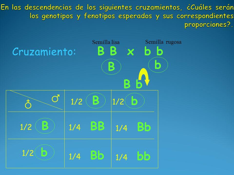 B b B b Cruzamiento: B B x b b Semilla lisa Semilla rugosa B 1/2 b B b ♂ ♁ BB 1/4 Bb 1/4 Bb 1/4 bb 1/4