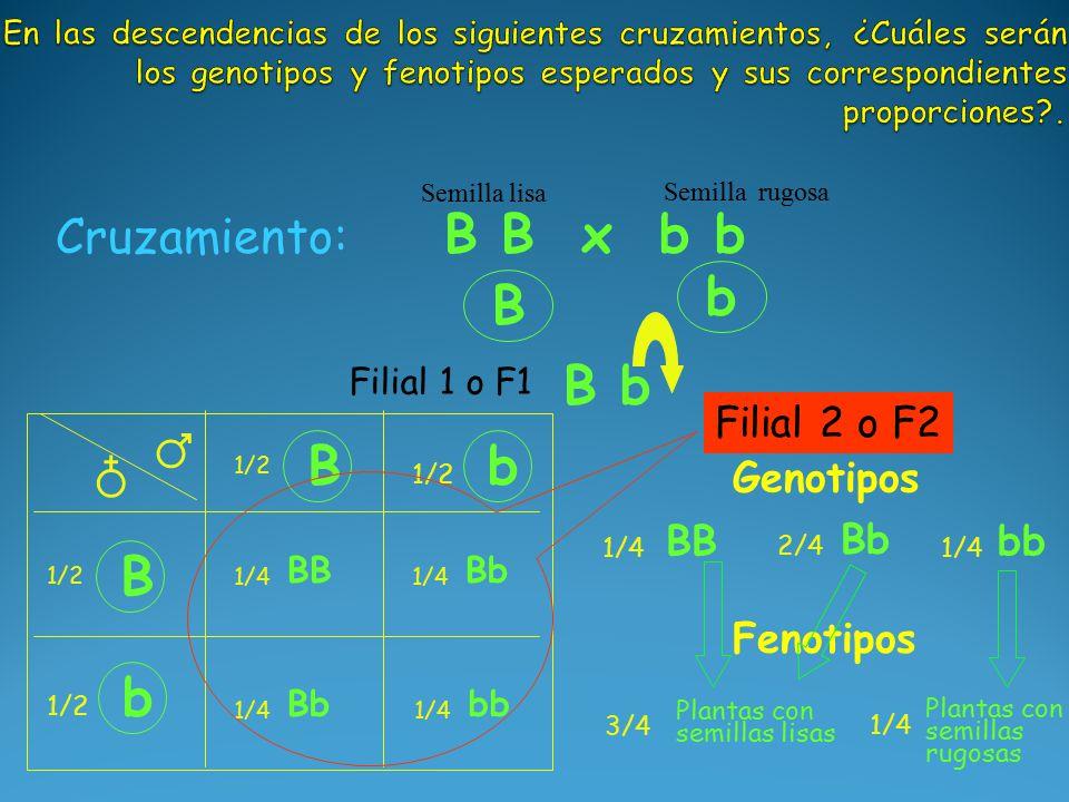 B b B b Cruzamiento: B B x b b Semilla lisa Semilla rugosa B 1/2 b ♂ ♁ Genotipos BB 1/4 Bb 2/4 bb 1/4 Fenotipos Plantas con semillas lisas 3/4 B 1/2 b BB 1/4 Bb 1/4 Bb 1/4 bb 1/4 Plantas con semillas rugosas 1/4 Filial 1 o F1 Filial 2 o F2