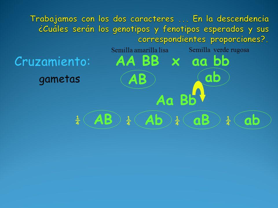 AB ab Aa Bb Cruzamiento: AA BB x aa bb Semilla amarilla lisa Semilla verde rugosa gametas AB ¼ Ab ¼ aB ¼ ab ¼