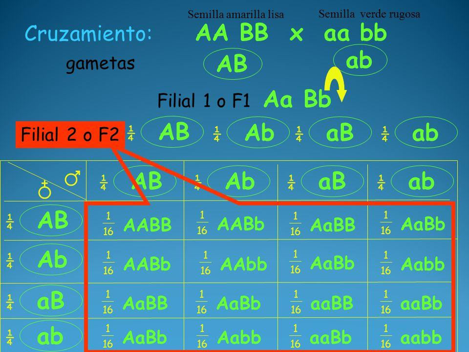 AB ab Aa Bb Cruzamiento: AA BB x aa bb Semilla amarilla lisa Semilla verde rugosa gametas AB ¼ Ab ¼ aB ¼ ab ¼ ♂ ♁ AB ¼ ¼ Ab ¼ ab ¼ aB ¼ Ab ¼ aB ¼ ab ¼ AABB 1 16 AABb 1 16 AaBb 1 16 AaBB 1 16 Aabb 1 16 AaBb 1 16 AAbb 1 16 AABb 1 16 AaBB 1 16 AaBb 1 16 aaBb 1 16 aaBB 1 16 AaBb 1 16 Aabb 1 16 aaBb 1 16 aabb 1 16 Filial 1 o F1 Filial 2 o F2