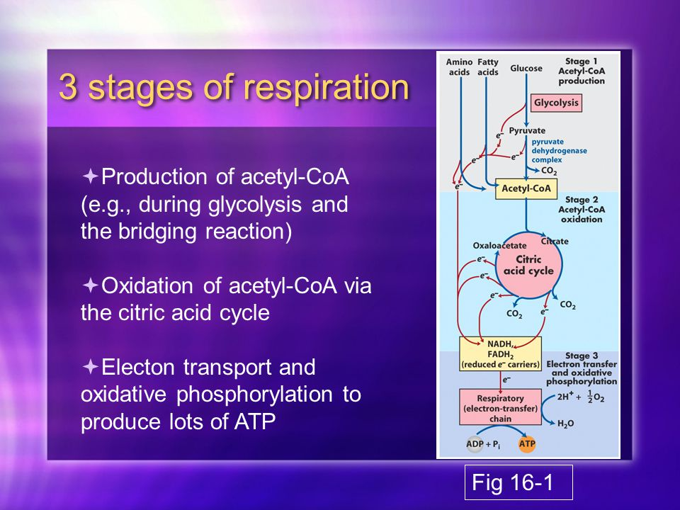 3 stages of respiration  Production of acetyl-CoA (e.g., during glycolysis and the bridging reaction)  Oxidation of acetyl-CoA via the citric acid cycle  Electon transport and oxidative phosphorylation to produce lots of ATP Fig 16-1