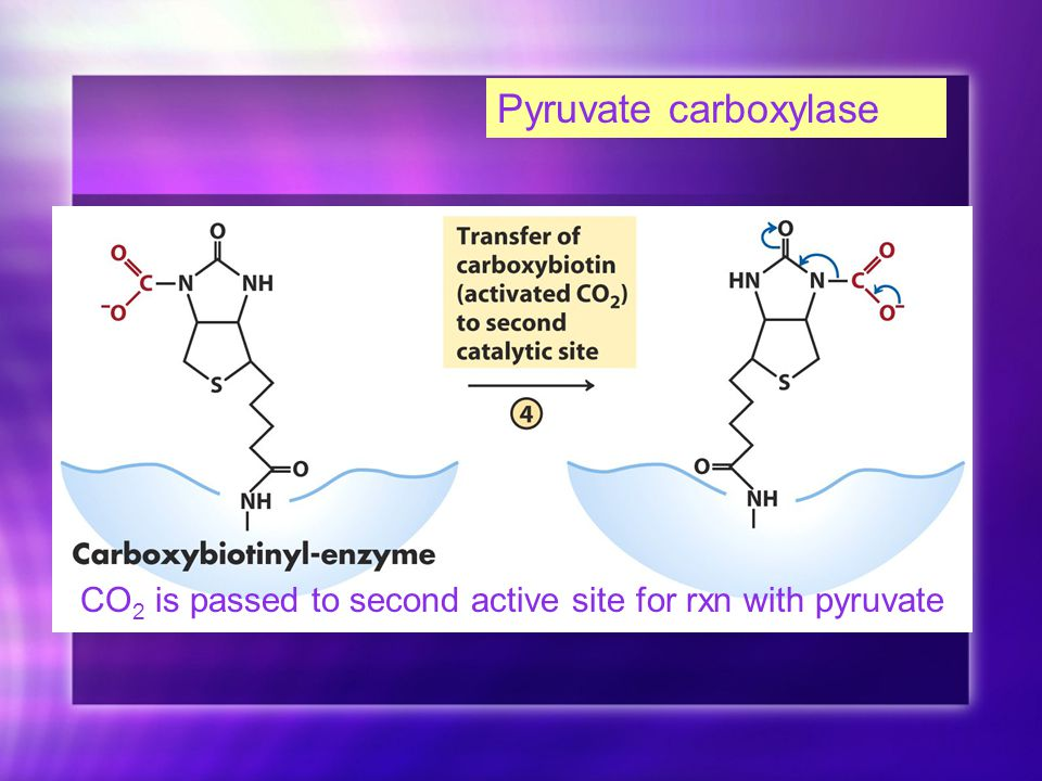Pyruvate carboxylase CO 2 is passed to second active site for rxn with pyruvate