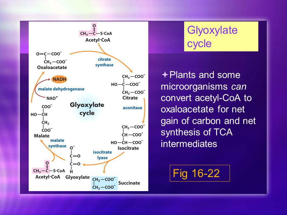 Glyoxylate cycle Fig 16-22  Plants and some microorganisms can convert acetyl-CoA to oxaloacetate for net gain of carbon and net synthesis of TCA intermediates