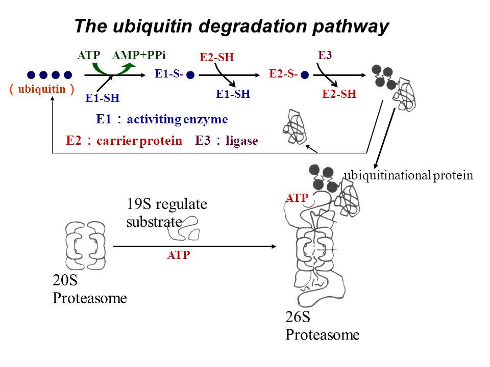 The ubiquitin degradation pathway E1-S- E1-SH E2-S- E1-SH E2-SH ATP AMP+PPiE3 ubiquitinational protein ATP 26S Proteasome 20S Proteasome ATP 19S regulate substrate E1 : activiting enzyme E2 : carrier protein E3 : ligase ( ubiquitin )
