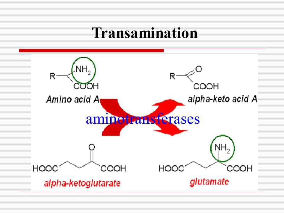 Transamination aminotransferases