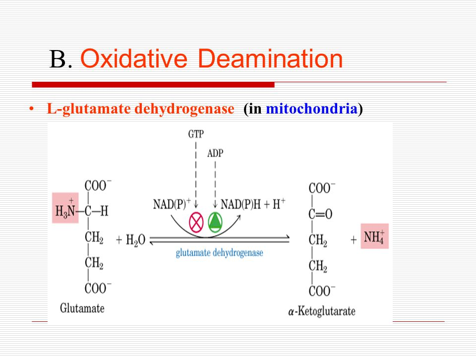 B. Oxidative Deamination L-glutamate dehydrogenase (in mitochondria)
