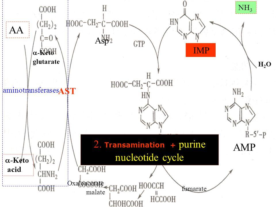 AA  -Keto glutarate  -Keto acid Asp Oxaloacetate malate fumarate IMP AMP H2OH2O NH 3 2.