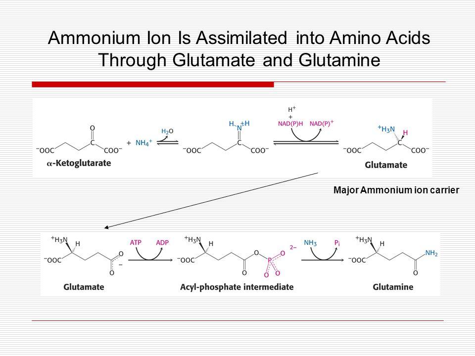 Major Ammonium ion carrier Ammonium Ion Is Assimilated into Amino Acids Through Glutamate and Glutamine