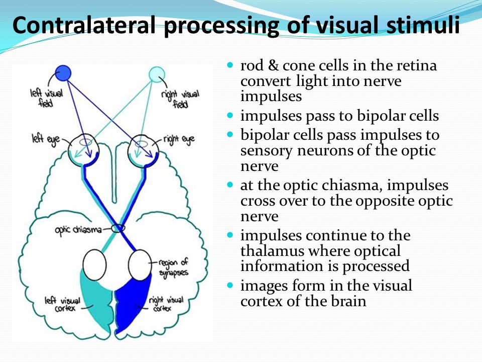 Contralateral processing of visual stimuli rod & cone cells in the retina convert light into nerve impulses impulses pass to bipolar cells bipolar cel