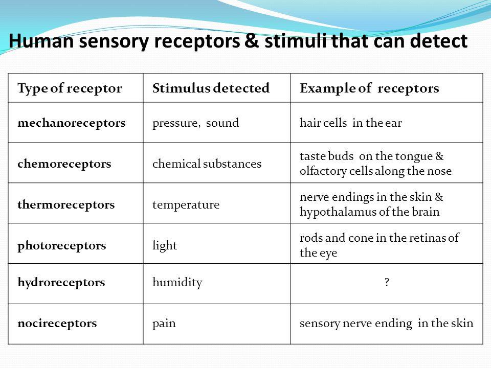 Human sensory receptors & stimuli that can detect mechanoreceptors chemoreceptors thermoreceptors photoreceptors nocireceptors hydroreceptors pressure