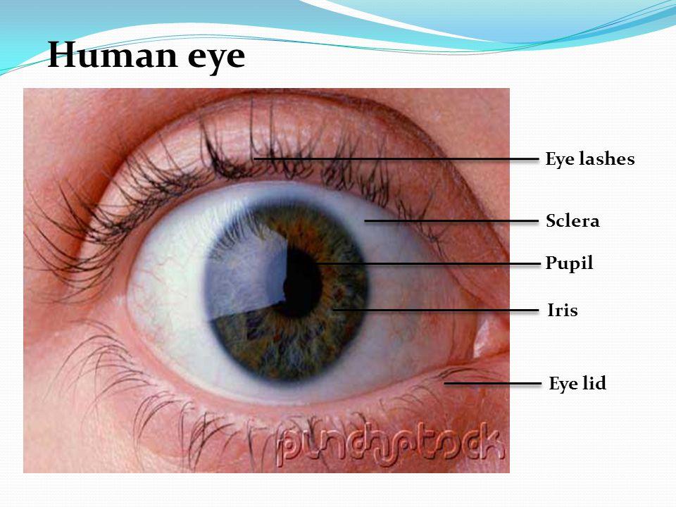 Eye lashes Sclera Pupil Iris Eye lid Human eye