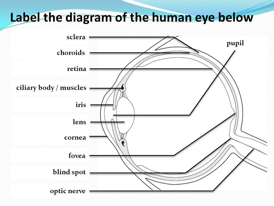 Label the diagram of the human eye below sclera choroids retina ciliary body / muscles iris lens cornea fovea blind spot optic nerve pupil