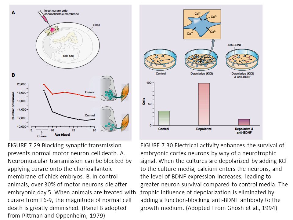 FIGURE 7.29 Blocking synaptic transmission prevents normal motor neuron cell death. A. Neuromuscular transmission can be blocked by applying curare on